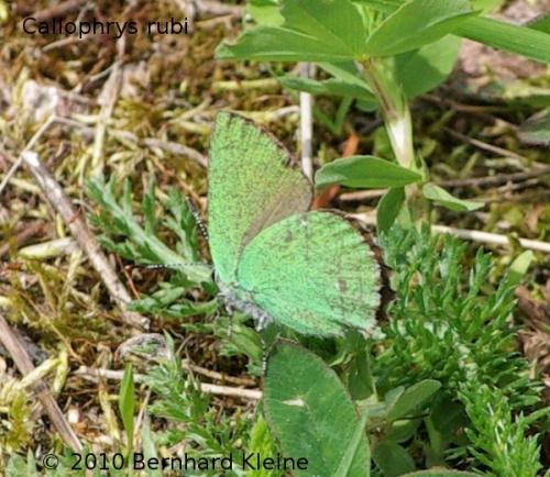Callophrys rubi IMGP9279