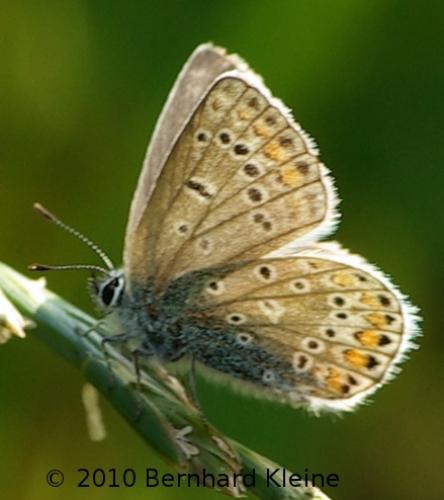 Polyommatus icarus IMGP9387