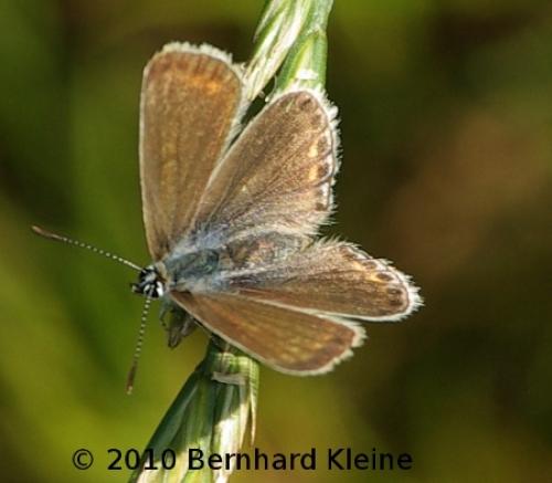 Polyommatus icarus OS ♀ IMGP9388