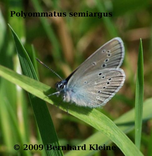 Polyommatus semiargus IMPG7996