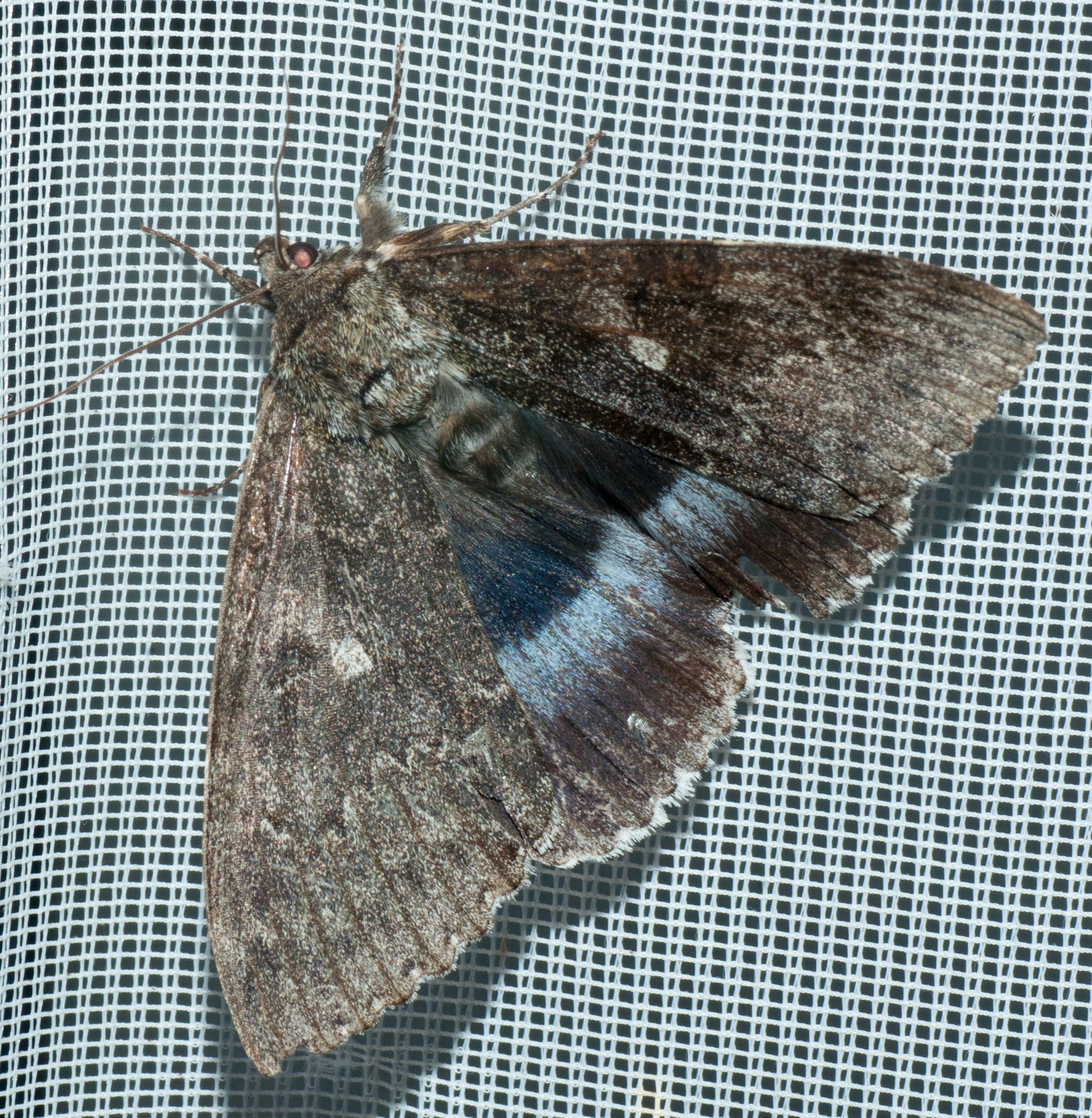 Catocala fraxini (6.10.1019)