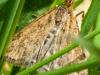 Cr-pyrausta-despicata