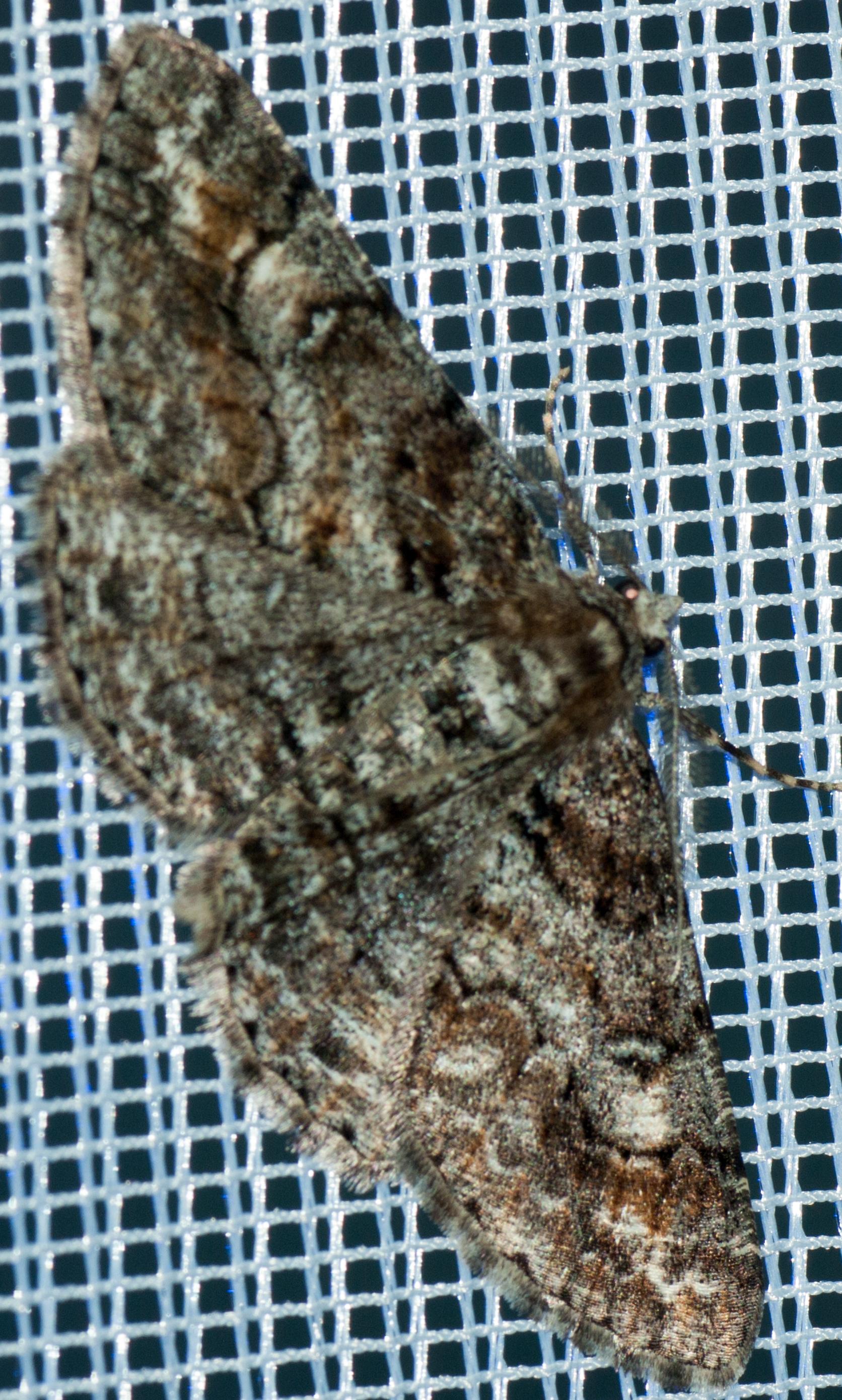 Cleora cintaria