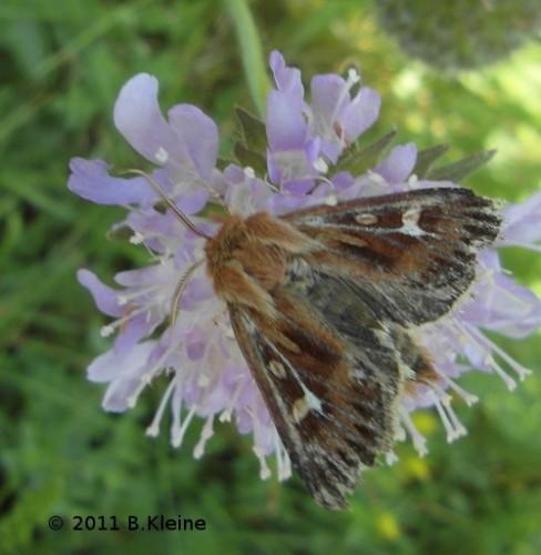 Cerapteryx graminis - Dreizack-Graseule - 2011-08-14