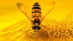 Chimäre von Biene und Schwebfliege