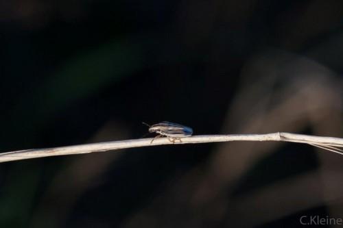 unbekannte Zikade
