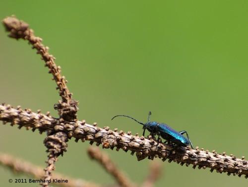 BlauvioletterScheibenbockCallidiumViolaceumIMGP8423