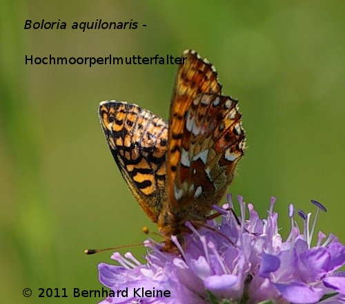 BoloraiAquilonaris_2011_06_16_IMGP8910
