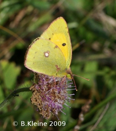 Colias-hyale_IMPG82651