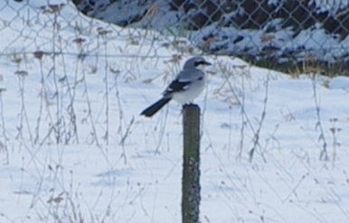 Great Grey Shrike 24-Jan-2012 in the Urseetal