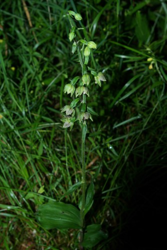 Breitblättrige Stendelwurz (Epipactis helleborine