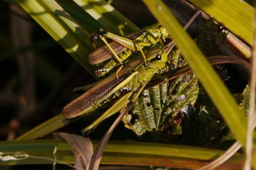 2 Mecostethus grossus - Sumpfschrecken