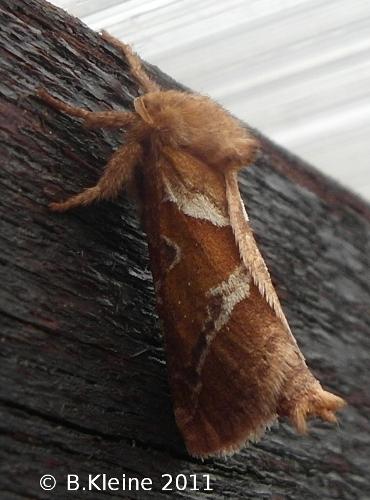 Triodia sylvina - Ampfer-Wurzelbohrer