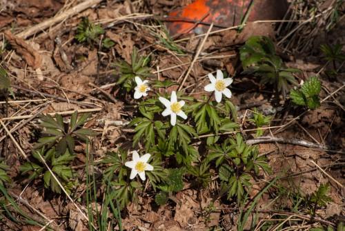 Buschwindröschen- weiße Osterblume - Anemone nemorosa