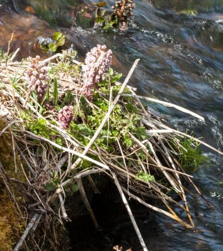 Rote Pestwurz - bevorzugt am und im Urseebach