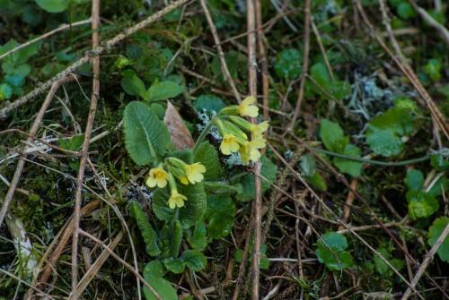 Waldschlüsselblume, Unechte Schlüsselblume, Primula elatior
