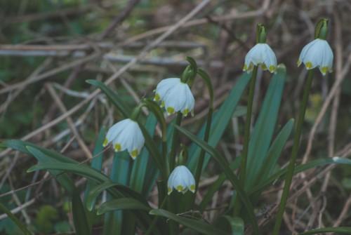 Märzenbecher auch Frühlingsknotenblume und Sommertürchen, Leucojum vernum