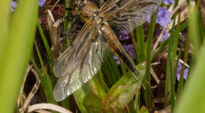 Heute (und gestern schon) sind die ersten Libellen geschlüpft: Vierfleck — Libellula quadrimaculta