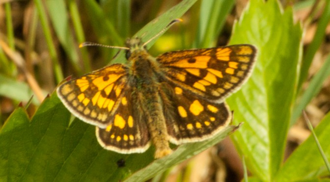 New butterfly in the Urseetal: Carterocephalus palaemon – Chequered skipper