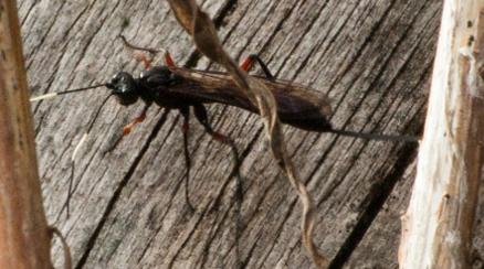 Ichneumon stramentarius (Schlupfwespe) am Holzstumpf