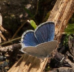Kurzschwänzige Bläuling — Cupido argiades — 53. Falterart im Urseetal