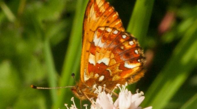 (Deutsch) Hochmoor-Perlmutterfalter – Boloria aquilonaris