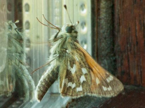 55. Falter im Urseetal: Komma-Falter – Hesperia comma