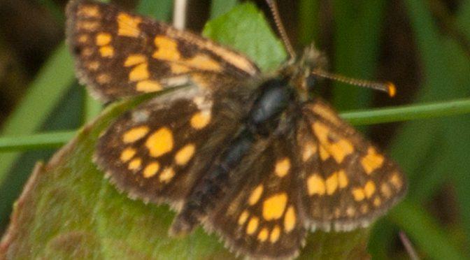 Schmetterlinge im Mai und Juni