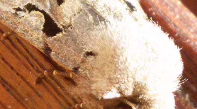 Gothica-Kätzcheneule – Orthosia gothica