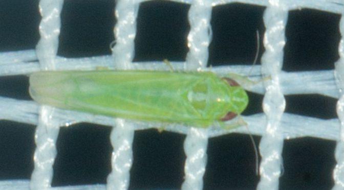Kleinstes Insekt bisher