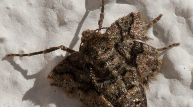 Das erste Flügellose Weibchen – Agriopis marginaria