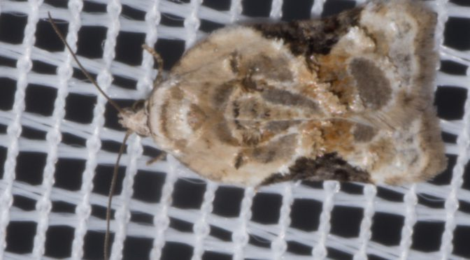 Äusserst selten: Acleris lacordairana